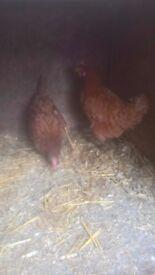 2 brown hens