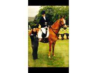 Selle Francais sports horse chestnut mare 15'3