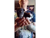 Jackawawa puppys