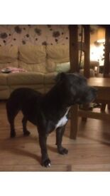 Blue Staffordshire Bull Terrier 2yrs old