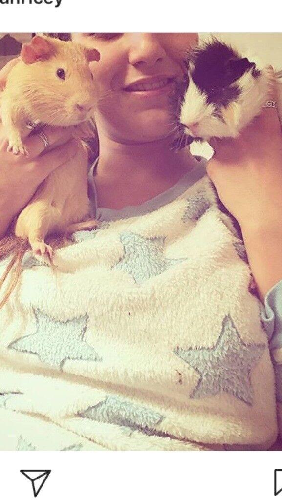 2 male SPOILT guinea pigs FREE