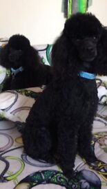 Toy poodle puppy girl, last one!