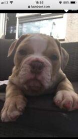 Olde tyme bulldog pup