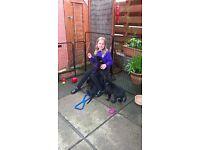 beautiful black Labrador dog pups
