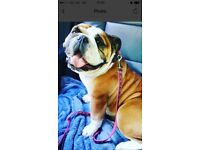 4 year old British bulldog looking for a new home