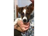 6 month old jack Russell