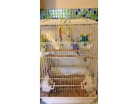 Budgie for sale with 2x cages & food
