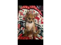 BEAUTIFUL BEAR chihuahua cross Yorkshire terrier