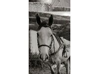 Penny 16h thoroughbred mare