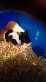 Baby guinea pigs with full set up