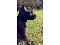 Staffy puppy ( male ) 8 month old