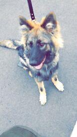 German Shepard puppy 7months old