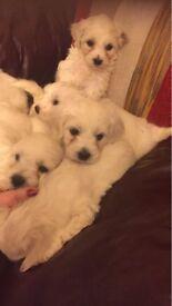 Beautiful Pedigree Bichon frise Pups