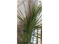 Live palm tree