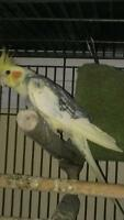 Cockatiel with large cage