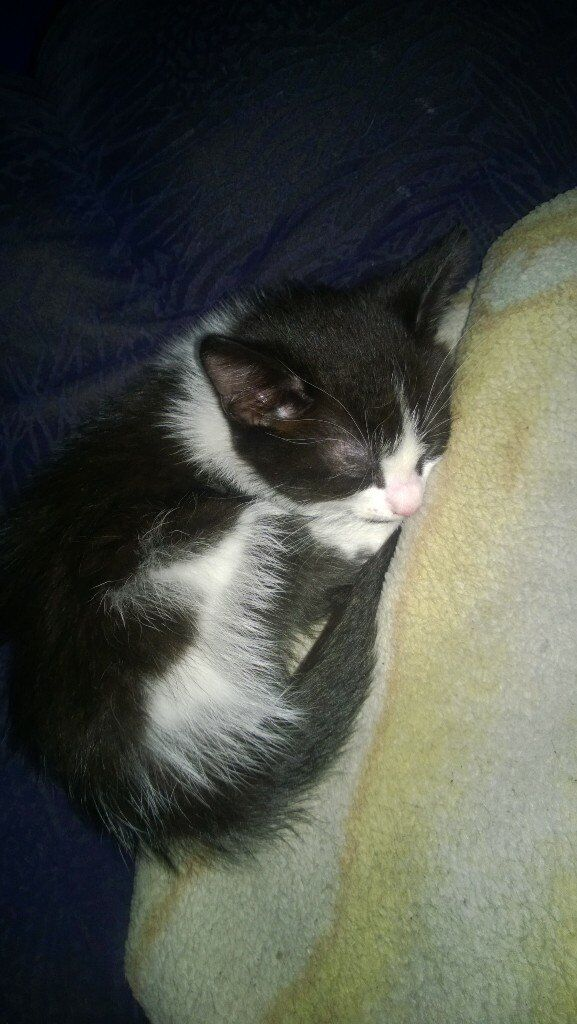 playful black n white kitten,male