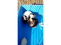 2 female guinea pigs and cage £25