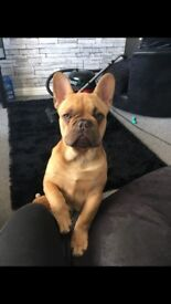 French Bulldog for sale 8 months on 11th June 2018. Chocolate Fawn/Quad Carrier- Carrying Cream