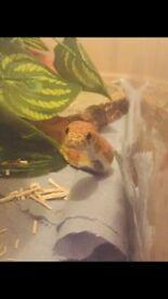 Female Orange Okatee Corn Snake