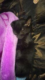 Female Kitten 8weeks old
