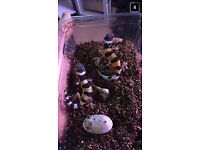 Three leopard geckos for sale