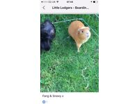 2 lovely male guinea pigs are seeking a new loving home