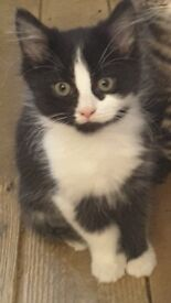 Beautiful Home for Life Kitten - Black and White - 13 Weeks Old