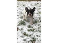 French bulldog puppies ,kennel club registered,inoculated,super healthy,beautiful female puppies.