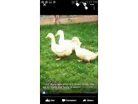 3 white ducks FREE
