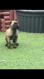 REDUCED PRICE Kc reg Belgian Malinois puppies - excellent pedigree