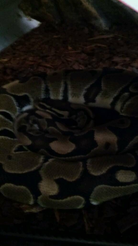 4 year old Ball python with cage