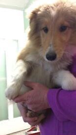 Miniature lassie ( Shetland sheepdog)