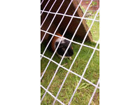 Two male guinea pigs in need of rehoming - UPDATE - Taken subject to collection