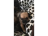 Shitzu crossed pug pups stunning litter can't really say a lot viewing is a must all wormed flead