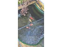 koi and complete pond set up with filter and pumps