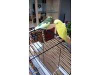 2 MALE BUDGIES + CAGE + TOYS
