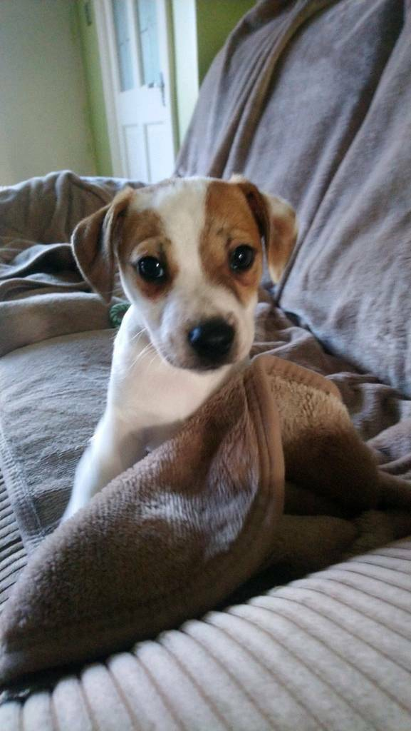 Jack Russell boy puppy for sale | in Hull, East Yorkshire | Gumtree