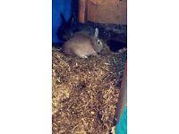 3 female rabbits