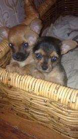 Chorkie puppys