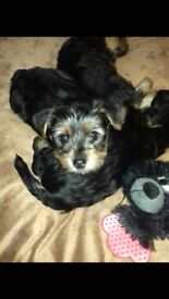 4 month female Yorkshire terrier pup for sale