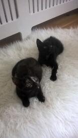 2 Adorable Kittens One tortoiseshell one black