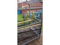 Quaker parrots / monk parakeet with cage