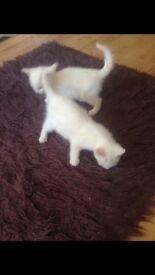 White kittens boy and girl
