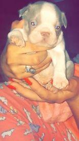 Boston terrier puppies 4 sale