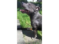 4 years old blue staff Kc registered full pedigree with papers