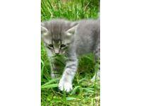 Grey/blue tabby kitten