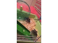 2 beautiful 8 week old Russian dwarf hamsters with cage & accsesories