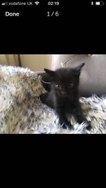 4 Blue eyed cat grey/black/ and mixed white black