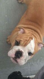 British Bulldog Pup 9 months old