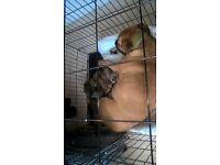 12 Beautiful Italian Mastiff & German Shepherd puppies ready 12th August